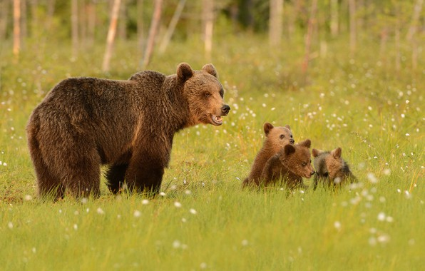 Картинка зелень, лес, лето, трава, взгляд, морда, природа, поза, поляна, медведь, медведи, медвежонок, прогулка, малыши, медвежата, …