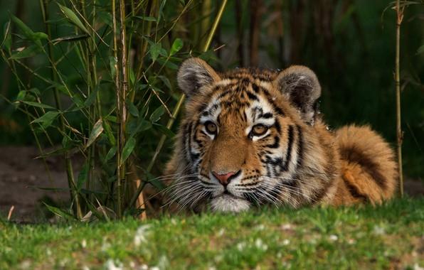 Картинка кошка, трава, взгляд, морда, листья, природа, тигр, куст, портрет, лежит, тигренок, дикая, тигрёнок, подросток