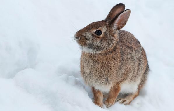 Картинка зима, снег, заяц, кролик, зайчик, зайчонок