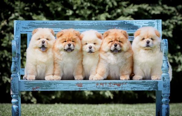 Картинка язык, собаки, лето, скамейка, ветки, природа, поза, парк, газон, щенки, лавочка, щенок, пушистые, малыши, компания, ...