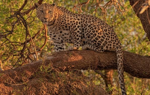 Картинка взгляд, леопард, дикая кошка, на дереве