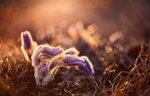 Картинка капли, макро, природа, весна, первоцветы, боке, сон-трава, прострел