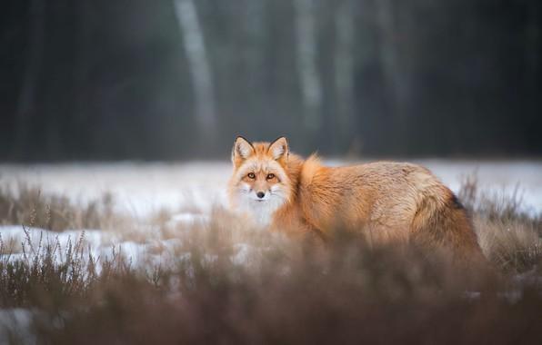 Картинка зима, лес, трава, взгляд, снег, природа, поза, темный фон, лиса, рыжая, прогулка, лисица