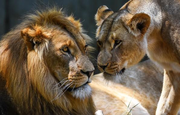 Картинка взгляд, свет, природа, фон, лев, семья, пара, львы, парочка, львица, отношения, морды, выражение, самка, самец, …