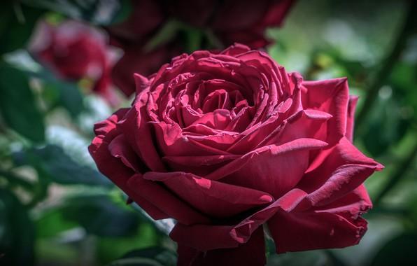 Картинка цветок, листья, макро, свет, роза, лепестки, бутон, красная, зеленый фон, малиновая, боке, пышная, бордовая, садовая