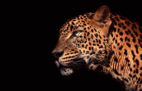 Картинка глаза, взгляд, морда, свет, крупный план, портрет, леопард, профиль, черный фон, дикая кошка, красавец