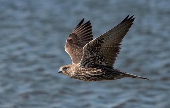 Картинка фон, птица, крылья, перья, клюв, полёт, сокол, боке, Gyrfalcon