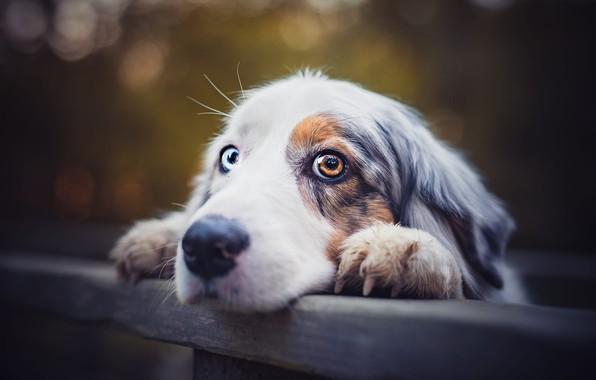 Картинка взгляд, морда, крупный план, темный фон, фон, настроение, доски, забор, портрет, собака, лапы, пес, когти, …