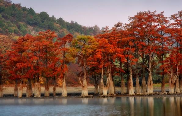 Картинка деревья, пейзаж, природа, пруд, кипарисы, Сукко, Кипарисовое озеро