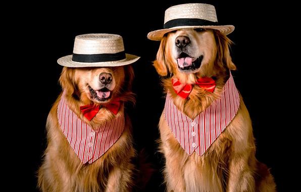 Картинка язык, собаки, морда, бабочка, две, собака, шляпа, пара, костюм, наряд, образ, черный фон, двое, парочка, …