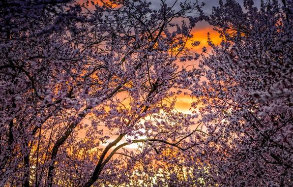 Картинка деревья, вишня, весна, сад, цветение