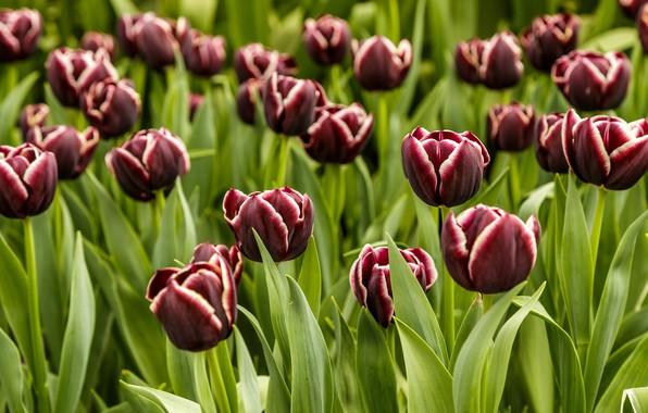 Картинка поле, цветы, поляна, весна, тюльпаны, много, бордовые, темно-красные