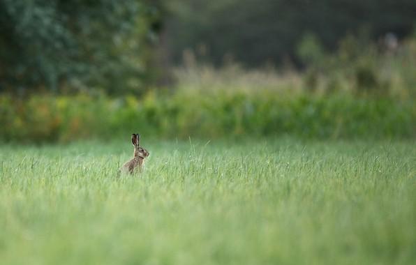 Картинка лето, трава, деревья, природа, заяц