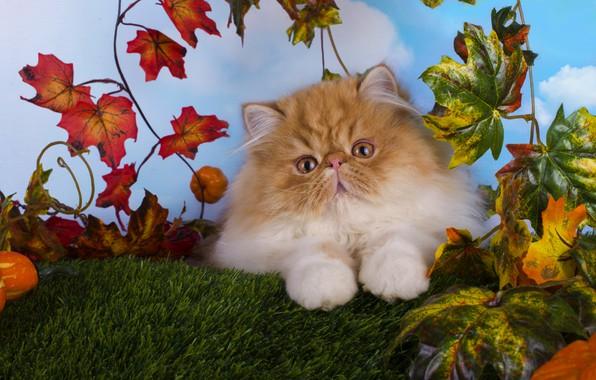 Картинка кошка, взгляд, листья, котенок, пушистый, малыш, рыжий, мордочка, котёнок, голубой фон, персидский, экстремал, рыжие глаза