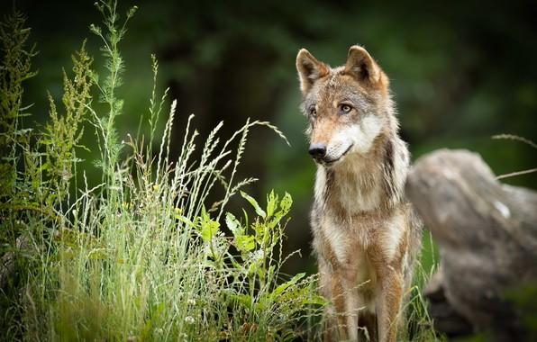 Картинка лето, природа, волк