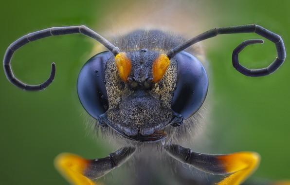 Картинка макро, насекомое, Hornet