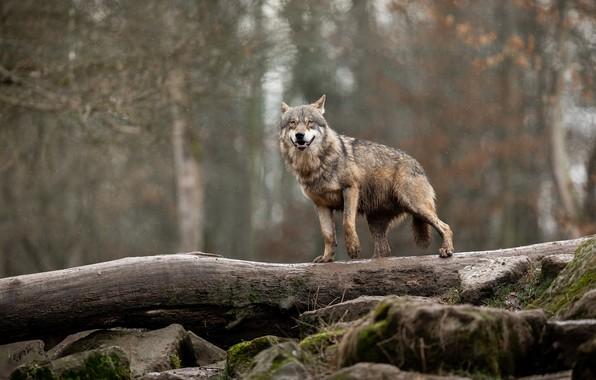 Картинка лес, мокрый, поза, камни, серый, дождь, волк, бревно