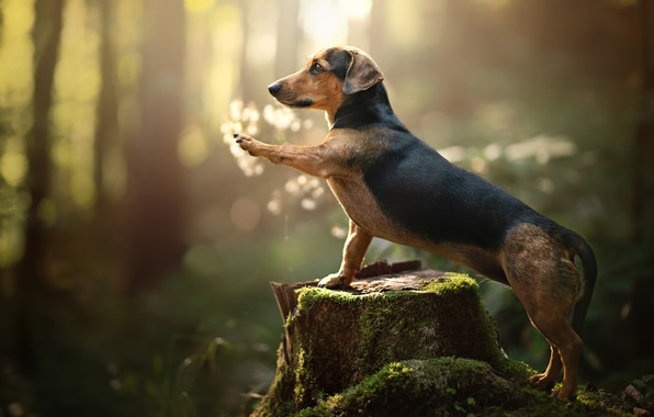 Картинка лес, лапа, мох, пень, собака, боке, Такса