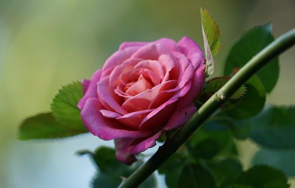 Обои листья, розовая, роза