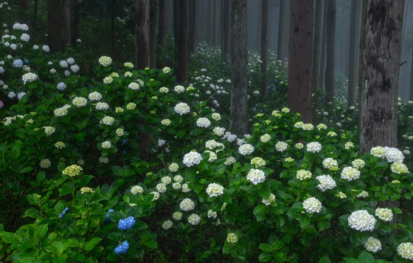 Картинка лес, лето, деревья, цветы, туман, парк, заросли, стволы, голубые, белые, цветение, кусты, много, гортензия