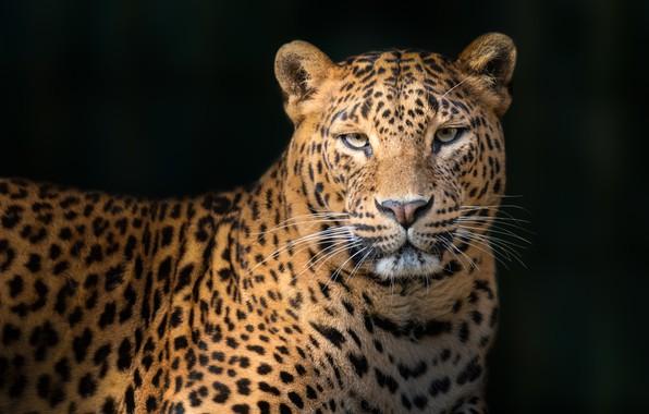 Картинка леопард, leopard, Juan I. Cuadrado