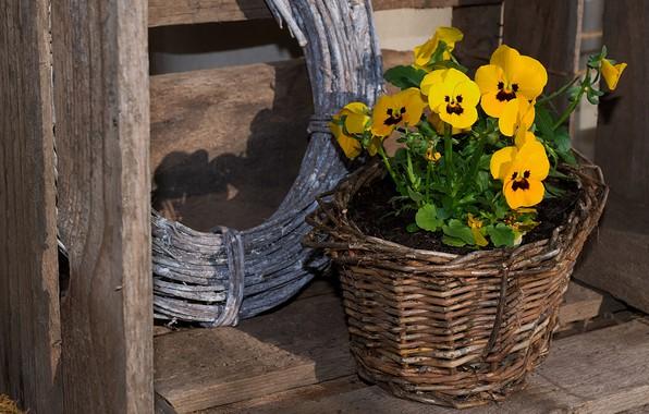 Картинка цветы, фон, доски, желтые, горшок, деревянный, ящик, анютины глазки, цветочный, плетеный, фиалки, кустик, виолы