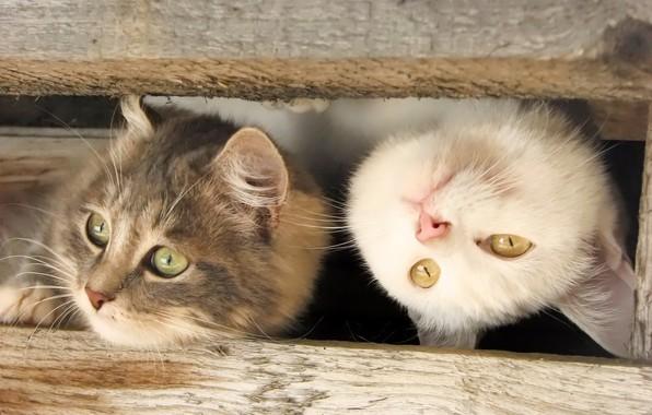 Картинка доски, мордочки, две кошки