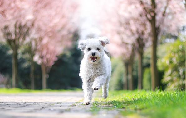 Картинка деревья, радость, природа, парк, собака, весна, сад, бег, щенок, белая, прогулка, бежит, цветение, болонка