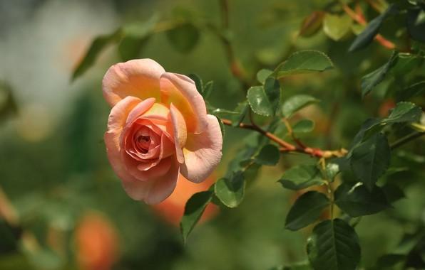 Картинка цветок, листья, природа, роза, ветка