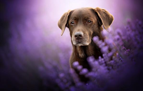Картинка взгляд, морда, цветы, собака, лаванда, боке, Лабрадор-ретривер