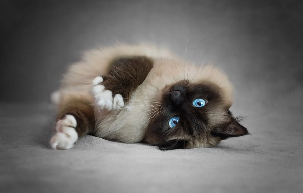 Картинка кошка, кот, поза, лапки, лежит, красотка, голубые глаза, серый фон, мордашка, киса, пушистая, сиамская, рэгдолл