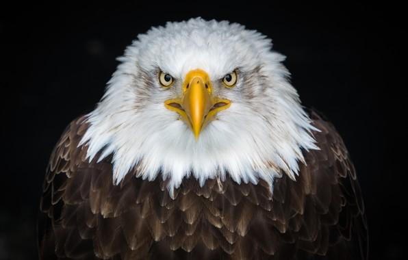 Картинка орел, bird, eagle, look, beak