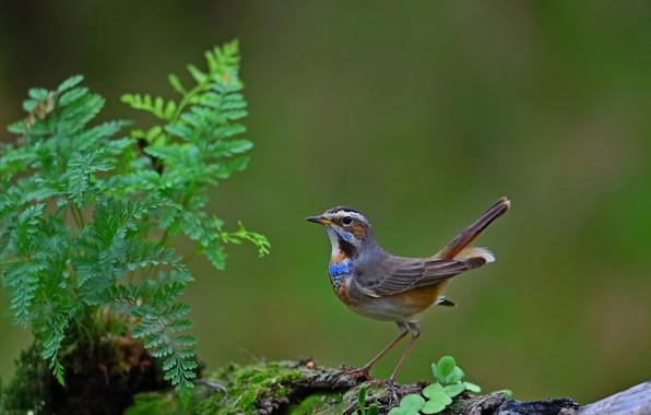 Картинка птица, bird, варакушка