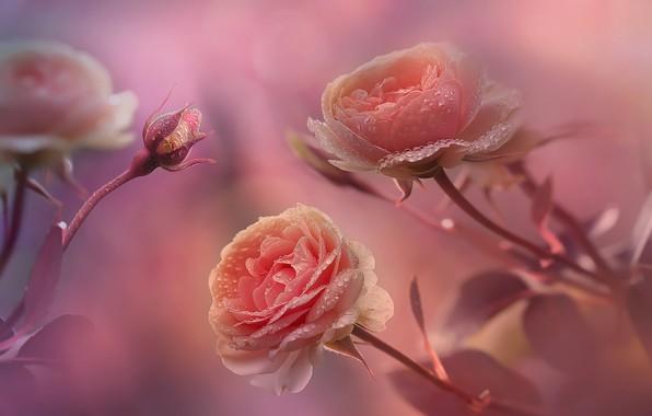 Картинка капли, макро, цветы, роса, фон, розы