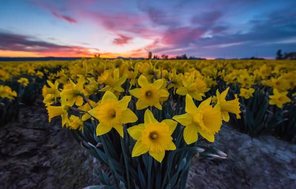 Картинка цветы, восход, рассвет, утро, нарциссы, плантация, Washington State, Skagit Valley