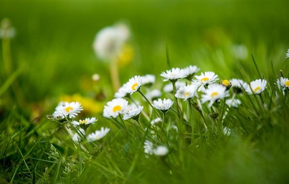 Картинка трава, природа, маргаритки