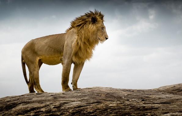 Картинка лев, царь зверей, Tanzania