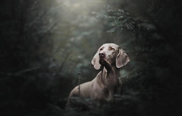 Картинка лес, дождь, ель, собака, Веймаранер, Веймарская легавая