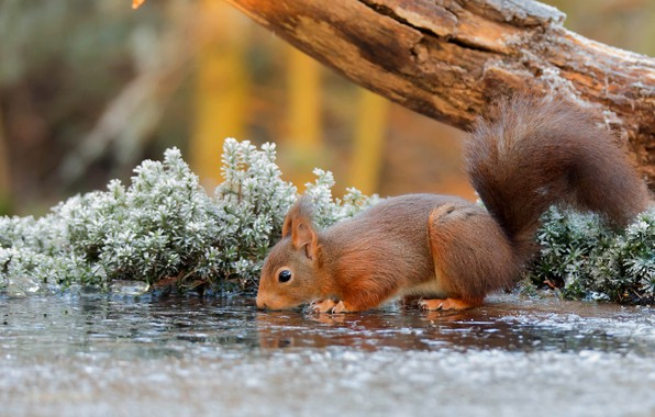 Картинка nature, water, tree, animal, Squirrel, branch, rodent, frost, depth of field, drinking, mammals, sciuridae, tree …