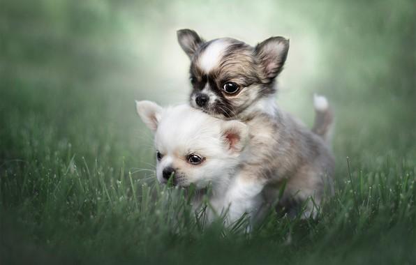 Картинка трава, щенки, малыши, парочка, боке, Чихуахуа, пёсики
