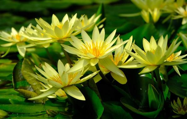 Картинка зелень, листья, цветы, озеро, пруд, желтые, лепестки, водяные лилии, водоем, много, нимфеи