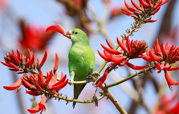 Картинка ветки, птица, попугай, цветки, Эритрина, Коралловое дерево, Желтокрылый тонкоклювый попугай