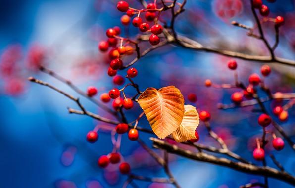 Картинка осень, листья, ветки, ягоды, листок, размытие, плоды, красные, голубой фон, боке