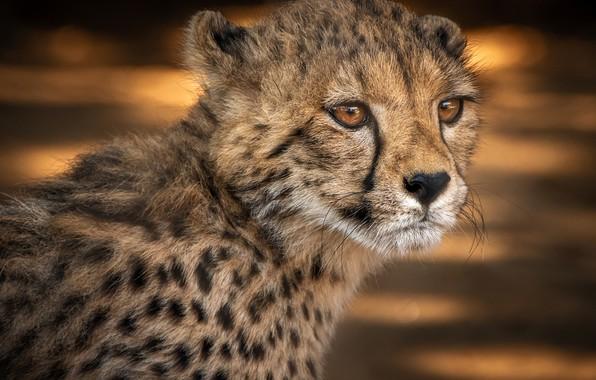 Картинка взгляд, морда, фон, портрет, малыш, гепард, детеныш, дикая кошка