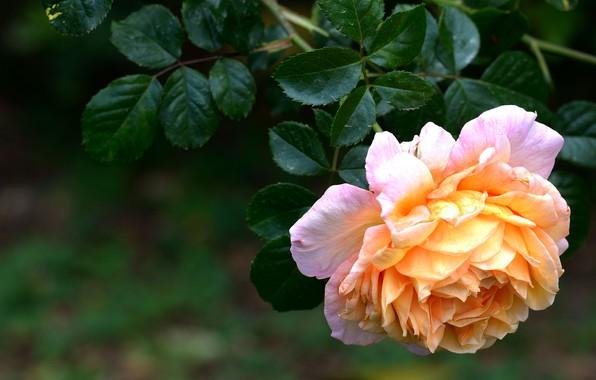 Картинка цветок, листья, темный фон, роза, оранжевая, ветка, сад, желтая, пышная