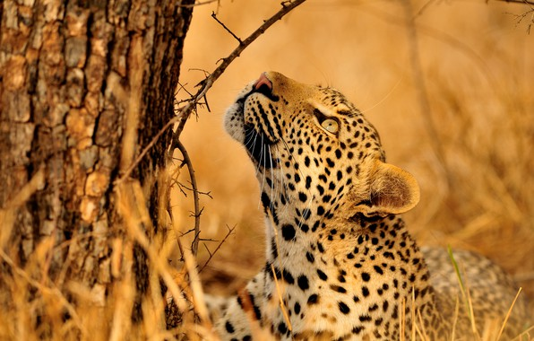 Картинка взгляд, морда, ветки, поза, дерево, леопард, лежит, кора, дикая кошка, смотрит вверх