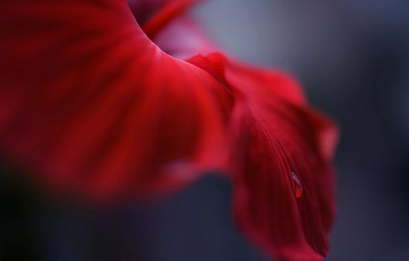 Картинка цветок, макро, роса
