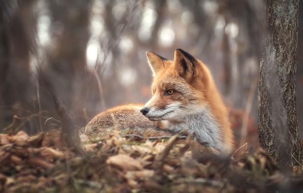 Картинка осень, ветки, природа, дерево, животное, листва, лиса, ствол, профиль, лисица