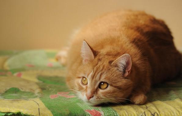 Картинка кошка, кот, взгляд, рыжий, постель, лежит