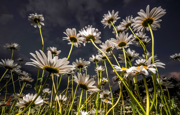 Картинка поле, лето, небо, облака, свет, цветы, стебли, поляна, ромашки, вечер, лепестки, луг, белые, ракурс, много, …